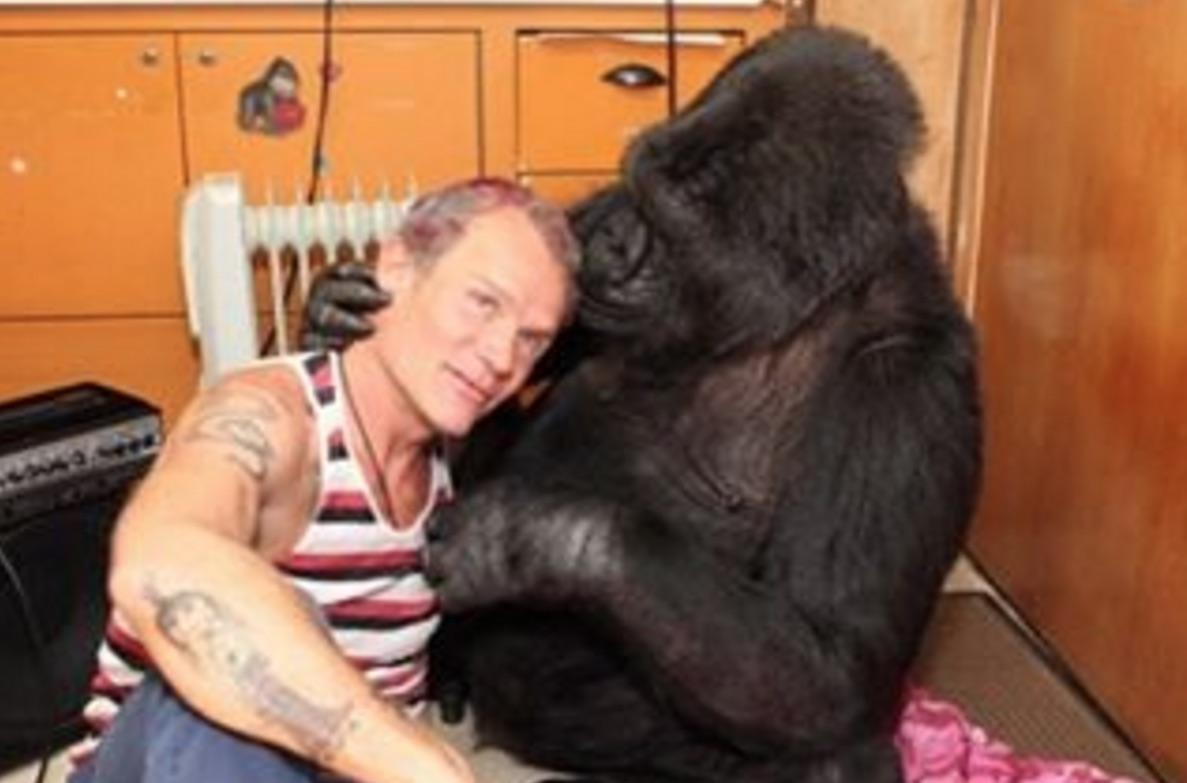 Koko The Gorilla Plays Bass With Red Hot Chili Peppers '  Flea      And It  's Amazing!