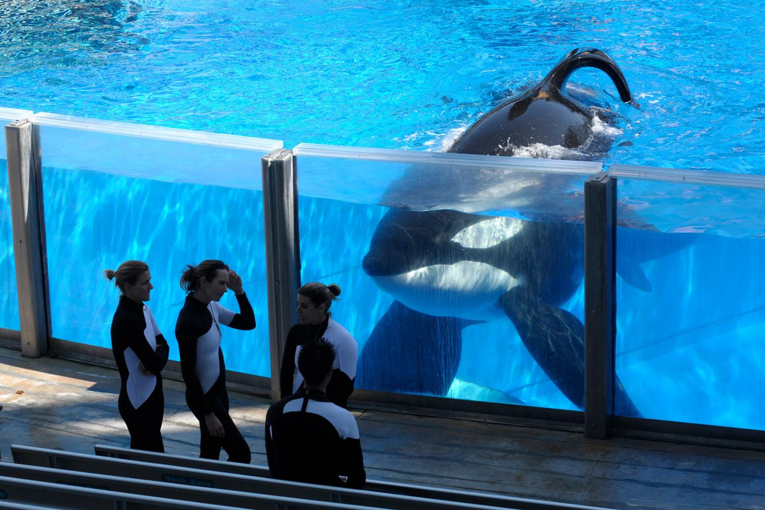 Tilikum, SeaWorld Whale that Killed Trainer, Died from Bacterial Pneumonia